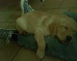 Chien anis - Labrador Femelle (1 an)
