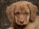 Chien trop chou - Labrador Mâle (5 mois)