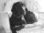Chien Oopi - Labrador Femelle (2 ans)
