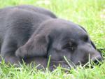 Chien angie - Labrador Femelle (7 mois)