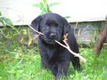 Chien Arty - Labrador Mâle (4 mois)