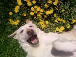 Chien nala - Labrador Femelle (5 ans)