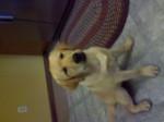 Chien Lily - Labrador Femelle (1 an)