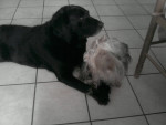 Chien zoro et aslan - Labrador Mâle (10 ans)