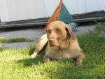 Chien Brandy - Labrador Femelle (2 ans)