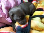 Chien Coco Puff - Labrador Femelle (2 mois)