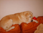 Chien Charly - Labrador Femelle (9 ans)