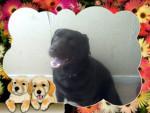 Chien caizer - Labrador Mâle (2 ans)