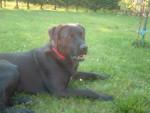Chien BOUM - Labrador Femelle (7 ans)
