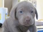 Chien Roxie - Labrador Femelle (9 mois)
