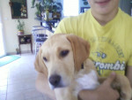 Chien BRIOCHE - Labrador Femelle (2 ans)