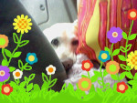Chien peeper - Labrador Femelle (10 ans)