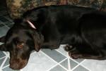 Chien Winnie - Labrador Femelle (2 ans)