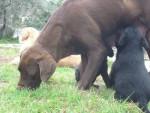 Chien Loulou - Labrador Mâle (10 mois)