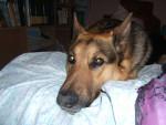 Chien Diego - Labrador Mâle (2 ans)