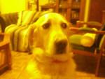 Chien Belle - Labrador Femelle (8 ans)
