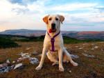 Chien xaxta - Labrador Femelle (3 ans)