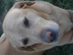 Chien Snoopy - Labrador Femelle (13 ans)
