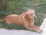 Chien Snoopy toujours =) - Labrador Femelle (13 ans)