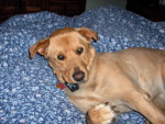 Chien Mia - Labrador Femelle (6 ans)