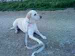 Chien Laika - Labrador Femelle (7 ans)