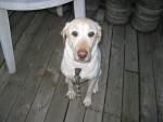 Chien Tucker - Labrador Mâle (7 ans)