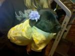 Chien Max - Labrador Mâle (2 mois)