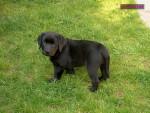 Chien BALTO - Labrador Femelle (2 mois)