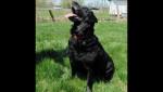 Chien Cassie - Labrador Femelle (4 ans)
