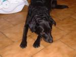Chien chipie ma cheris - Labrador  (0 mois)