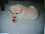 Chien boby - Labrador Mâle (13 ans)