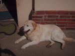 Chien Zoé - Labrador Femelle (9 ans)