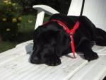 Chien axa labrador - Labrador  (0 mois)