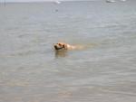 Chien Labrador retriever : Urban - Labrador  (0 mois)