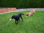 Chien Urane et Urban (Labrador retriever) - Labrador  (0 mois)