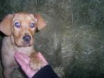 Chien labrador croisé setter . Téquila - Labrador Femelle (0 mois)