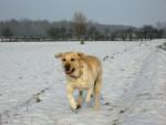 Chien labrador retriever - Labrador  (0 mois)