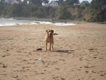 Chien Urban à la plage (Labrador Retriever) - Labrador Femelle (0 mois)