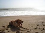 Chien Urban, toujours à la plage ! (labrador retriever) - Labrador  (0 mois)