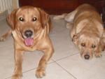 Chien labrador retriever : urban et uta - Labrador  (0 mois)