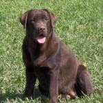 Chien LABRADOR CHOCOLAT - UTAH - Labrador  (0 mois)