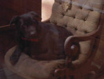 Chien Prince - Labrador Mâle (11 ans)