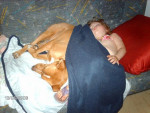 Chien labrador croisé épagneul - Labrador  (0 mois)