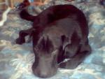 Chien croisé sharpeï/labrador: charles - Labrador  (0 mois)