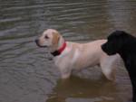 Chien BACK  LABRADOR - Labrador  (0 mois)