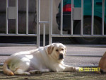 Chien labrador sava - Labrador  (0 mois)