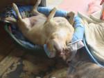Chien croisée labrador zoe - Labrador Femelle (0 mois)