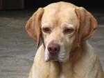Chien croisé labrador  . ZOE - Labrador Femelle (0 mois)