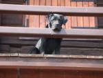 Chien labrador,bandit - Labrador  (0 mois)