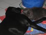 Chien labrador BAMBOU - Labrador  (0 mois)